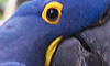 Zoo:Hyacinth Macaw